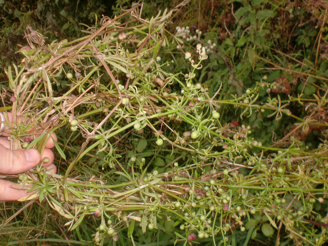 Silverweed shrub. Most popular varieties 8