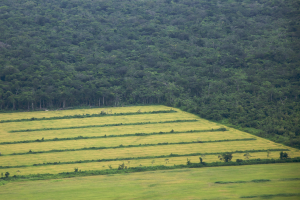 Deforested areas of the Amazon are used for grazing and to grow feed-crops for animals.