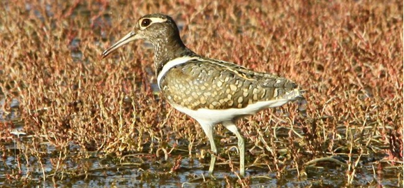 Photo of Australian Painted Snipe at Wooleen Station by Andrew Hobbs