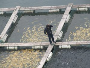 Fish are crowded into a small space, and diseases are common