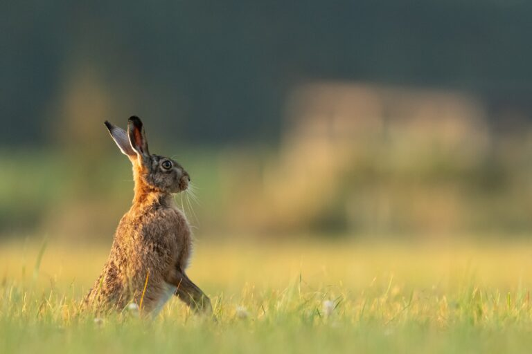 A Green Criminology Perspective on Hare Coursing